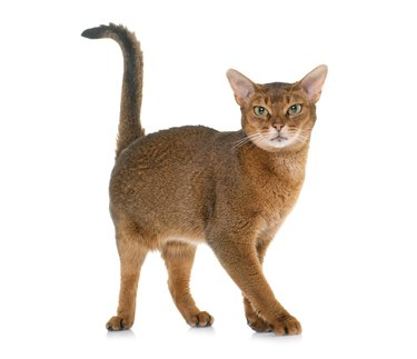 Abyssinian cat in studio