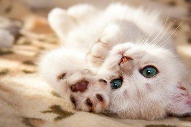 A small white British kitten lies upside down
