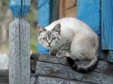Portrait of a strange cat. The cat is a purebred. Have animal disease eye