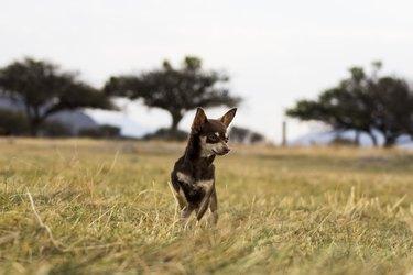 Bacha the Chihuahua