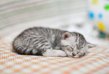 Lovely kitten with gray-white hair sleeping on sofa