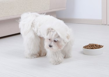 Dog refusing to eat dry food