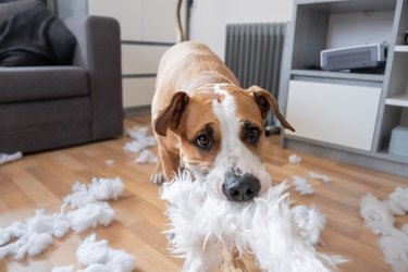 A dog destroying a fluffy pillow at home