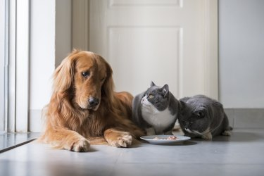 Golden Retriever eats with two British Shorthair catx