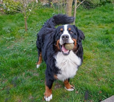 Bernese Mountain Dog playing with the tennis ball in the garden