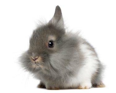 Young Lionhead rabbit, 2 months old,
