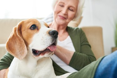 Beagle Dog with Senior Owner