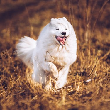 White fluffy Samoyed dog puppy is running outside