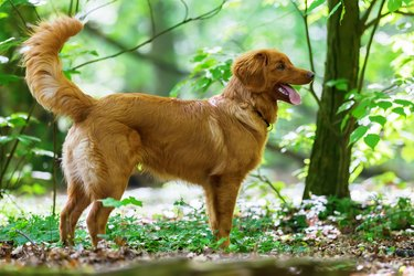 Nova Scotia Duck Tolling Retriever puppy in the forest