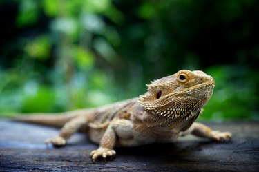 A pogona lizard sitting on a wooden surface in a forest
