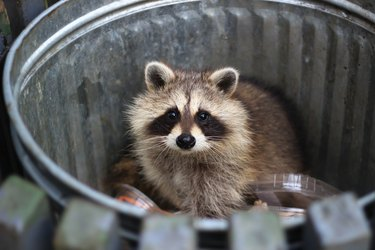 Racoon in the trash