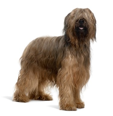 Side view of Briard dog standing and panting
