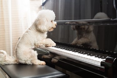 Concept of cute poodle dog playing upright grand piano