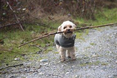 Shih Tzu with stick