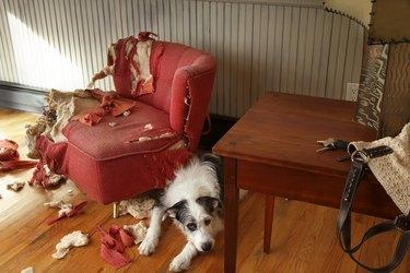 Mischievous dog sitting next torn furniture