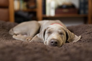 Weimaraner puppy sleeping indoors