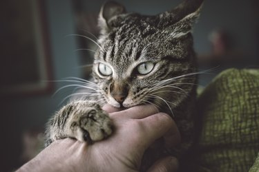 Portrait of tabby cat biting and scratching owners hand