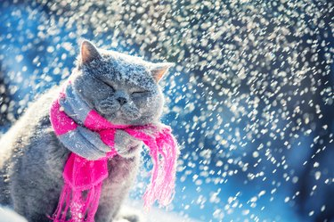 Portrait of a Blue British Shorthair cat, wearing the knitted scarf. Cat sitting outdoors in the snow in winter during snowfall