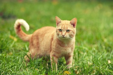 Red cat walking on the grass