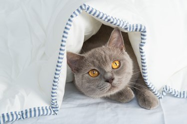 Cats under sheet