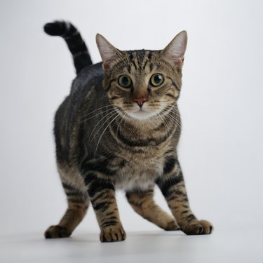 Portrait of a Brown Tabby Cat in Fear