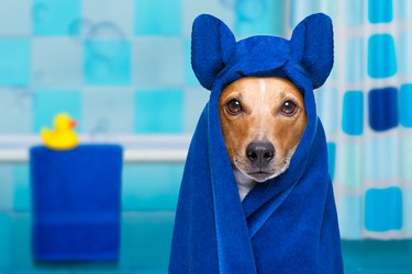 dog in shower wearing blue hooded robe