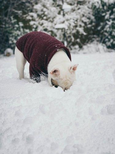 White French Bulldog puppy eating snow.