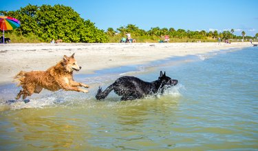 Two dogs running into the ocean, Fort de Soto, Florida, United States