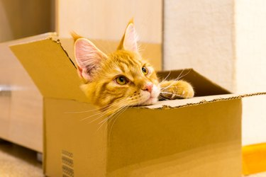 Young red cat of Maine Coon breed sitting in the box and watchin