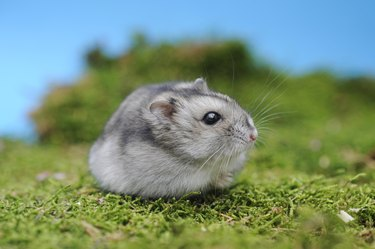 Djungarian hamster (Phodopus sungorus), agouti, sits in the moss, Austria