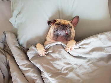 Cute pug dog sleeping on pillow in bed covered in a blanket
