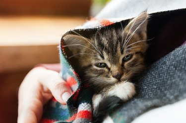 Small tabby mixed breed kitten under gray and red wool plaid. Pets care and adoption concept. Close up, selective focus.