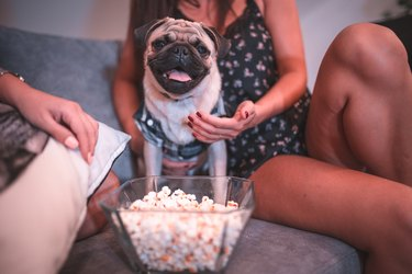 Cutle little pug dog eating popcorn