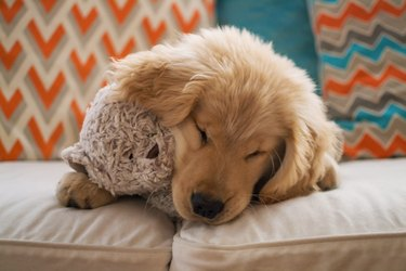 Golden retriever puppy dog lying on sofa with teddy bear
