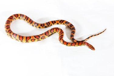 Corn snake isolated