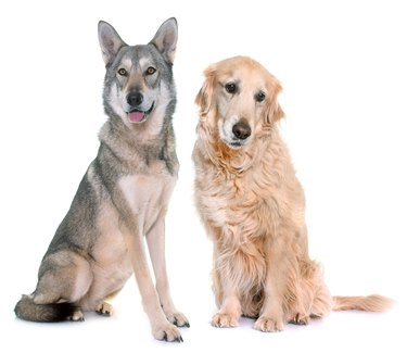 Saarloos wolfdog and golden retriever