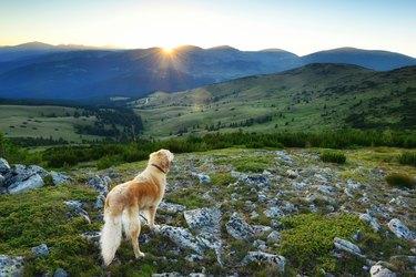 Golden Retriever watching the sunset at Belmeken