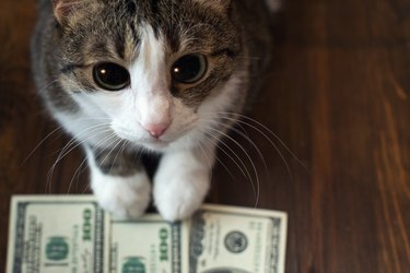 Adorable cat holds dollar banknotes with her paws and looks into the camera with her big eyes