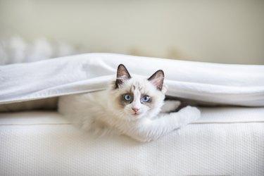A cute Ragdoll kitten in the bed