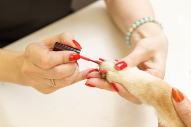 Shiba Inu dog an appointment at the beautician
