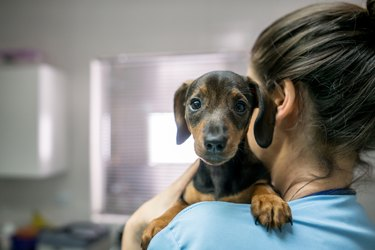 Portrait of a cute little dachshund carried by an unrecognizable woman at the veterinarian