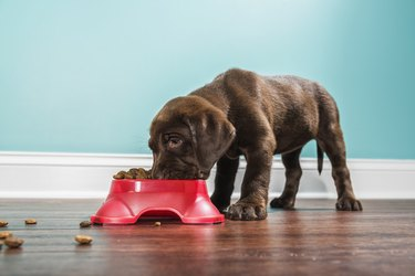 A Chocolate Labrador puppy eating from a pet dish, - 7 weeks old