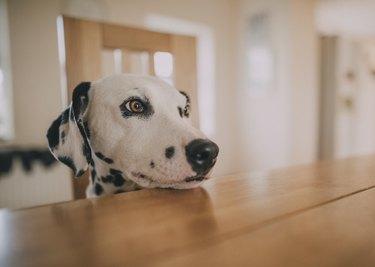 Dalmatian Resting Head on Table
