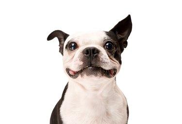 Happy Boston Terrier Dog on White Background