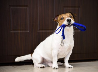 Dog behind door waiting and welcoming home its owner with leash in mouth