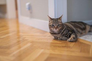 Beautiful short hair cat