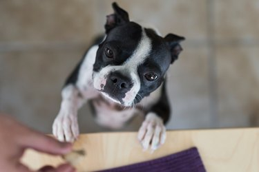 Boston Terrier begging for dog treat