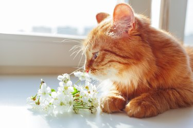 Cute ginger cat smells a bouquet of cherry flowers. Cozy spring morning at home.