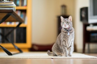 Gray tabby cat sitting indoors