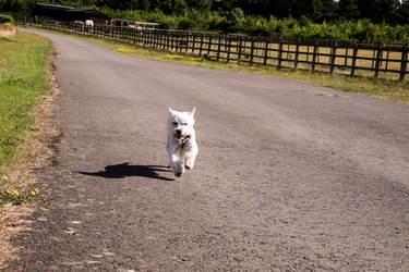 Little white dog on a road